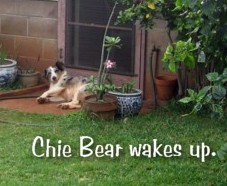 chiebear